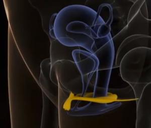 clitoride 3d visto internamente da lato