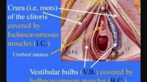 clitoride e i muscoli che lo avvolgono