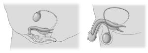 clitoride e pene a confronto