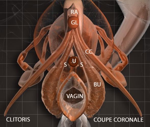 clitoride immagine eco