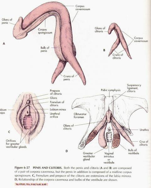 somiglianze pene e clitoride tavola anatomica