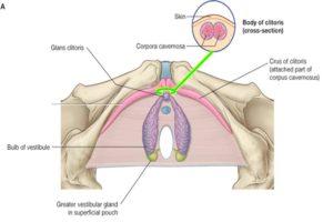 struttura del clitoride