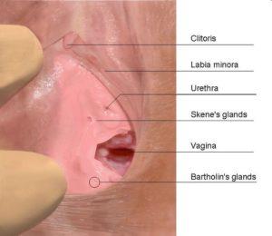 vulva e posizioni uretra e ghiandole skene bartolini
