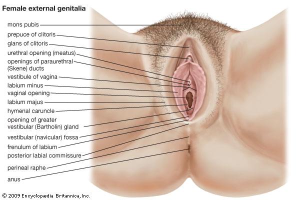 vulva label