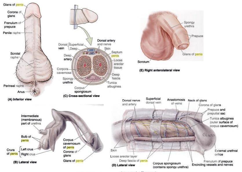 penis-anatomy (1)