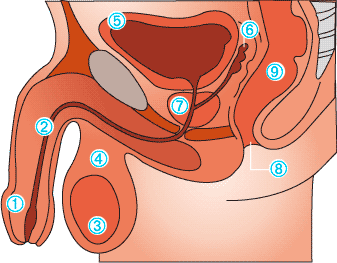 prostate-anatomy