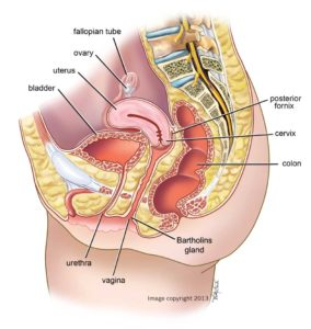 female-anatomy_side-view-bassa