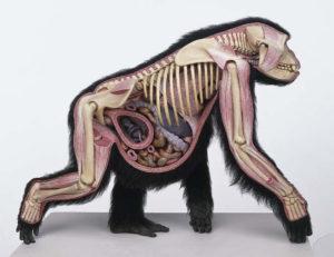 quadrupede-primate-incinta